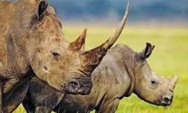 Aprendidos 167 chifres de rinoceronte na África do Sul