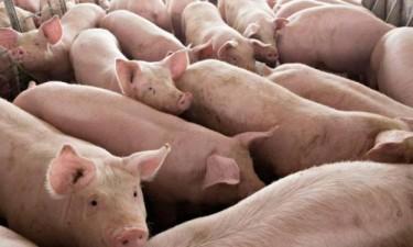 Inadec proíbe consumo da carne de porco da Huíla