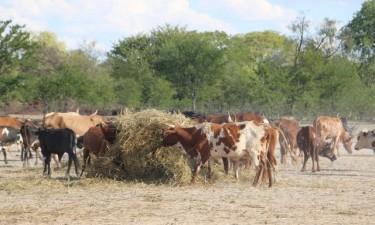 Mais de seis mil bovinos em risco por falta de vacinas