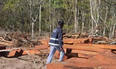 Suspensa exploração de madeira