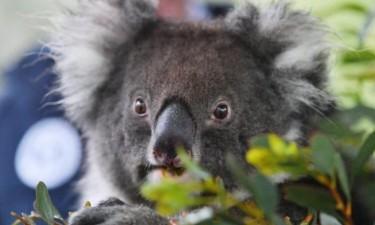 Fogos matam mais de dois mil coalas