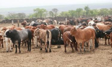 Angola recebe mais de mil bovinos do Tchad