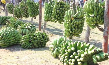 Feira da banana adiada