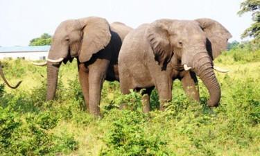 Duas pessoas morrem atropeladas quando tentavam aproveitar carne de elefante morto