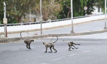 Macacos fogem com amostras de sangue de suspeitos com covid-19