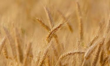 Produção de trigo cresce 18%