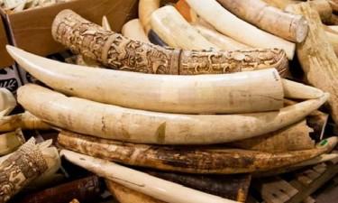SIC detém traficantes de marfim e minerais