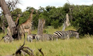 Caça furtiva ameaça a extinção de zebras