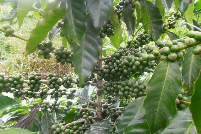 Cafeicultores vão receber mais de 300 mil plantas