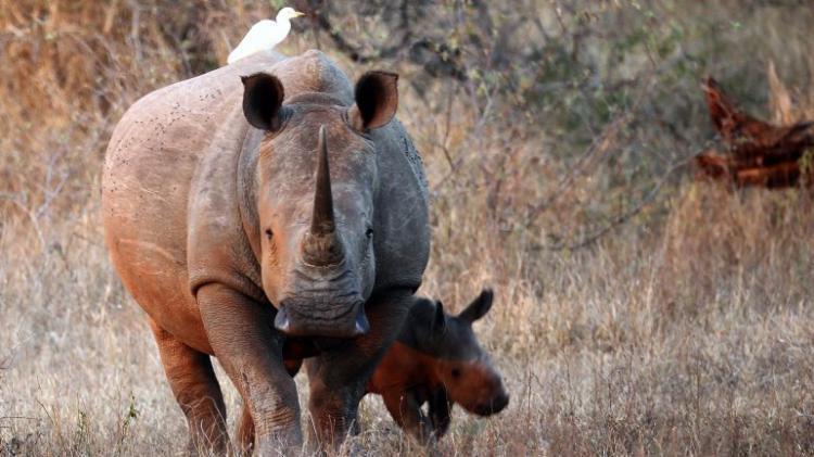 Elefante mata caçador de rinocerontes e leões devoram os restosmortais