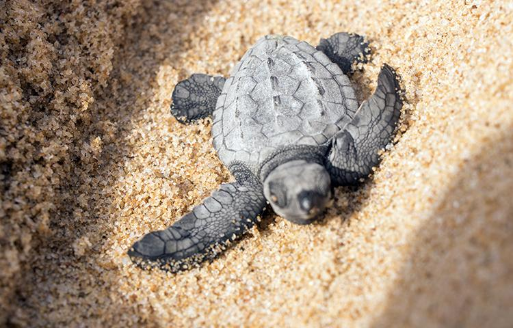 Seis mil tartarugas   morrem anualmente