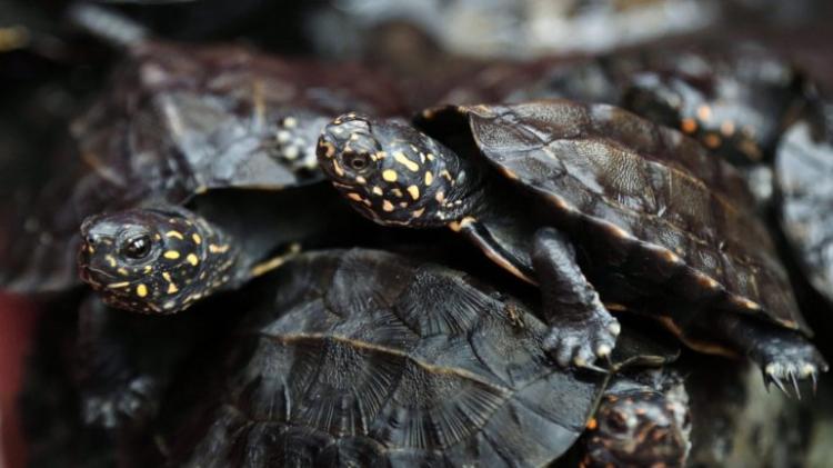 99% das tartarugas estão a nascer fêmeas