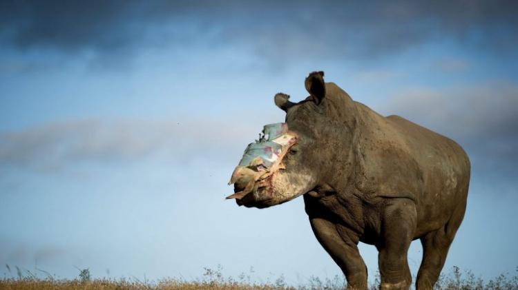 Apreendidos 125 quilos de corno de rinoceronte