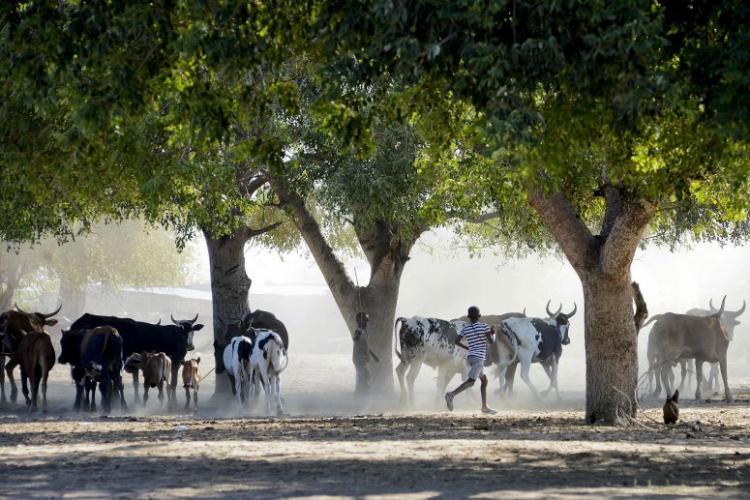 Mais de 450 mil animais vacinados contra febre aftosa