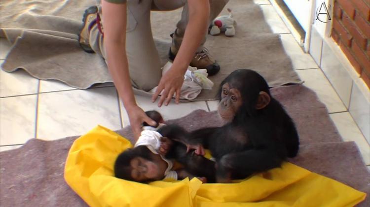 Santuário passa a receber primatas do Maiombe