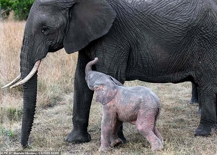 Nasce elefante albino no Quénia