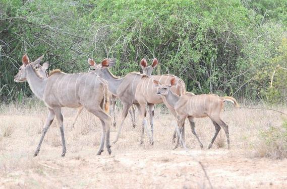 Caça furtiva ameaça animais na Quiçama