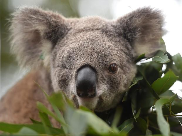 Koalas em vias de extinção