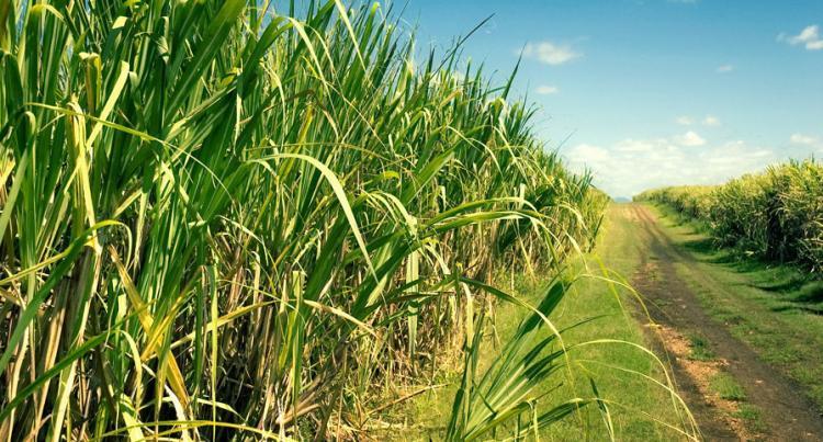 Angola precisa de 10 mil produtores de cana-de-açúcar