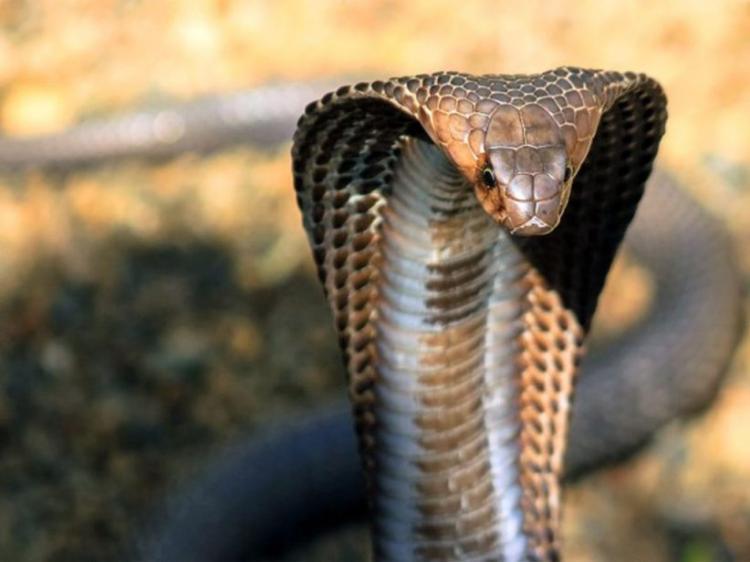 Serpente mata domador durante espectáculo