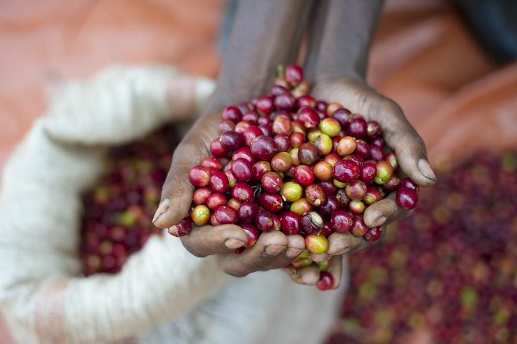 País vai colher cinco mil toneladas de café