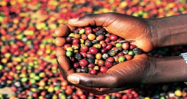 Produtores pretendem colher mais de mil toneladas de café