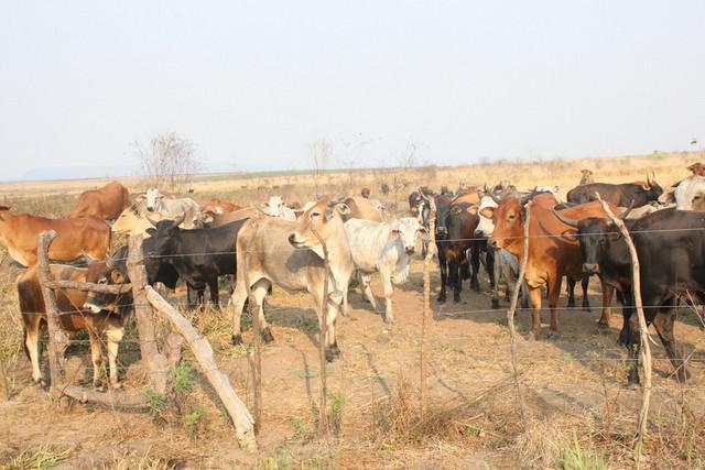 Polícia deteve mais de 100 pessoas envolvidas em roubo de gado