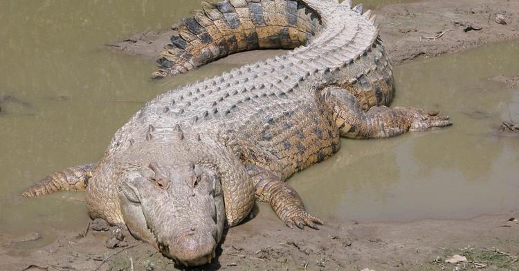 Animais selvagens mataram 97 moçambicanos em 2020. Crocodilo foi o mais letal